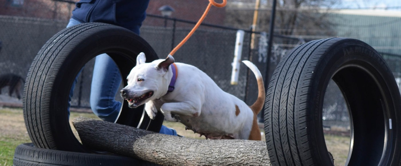 White dog jumps over a log at the PSPCA agility course