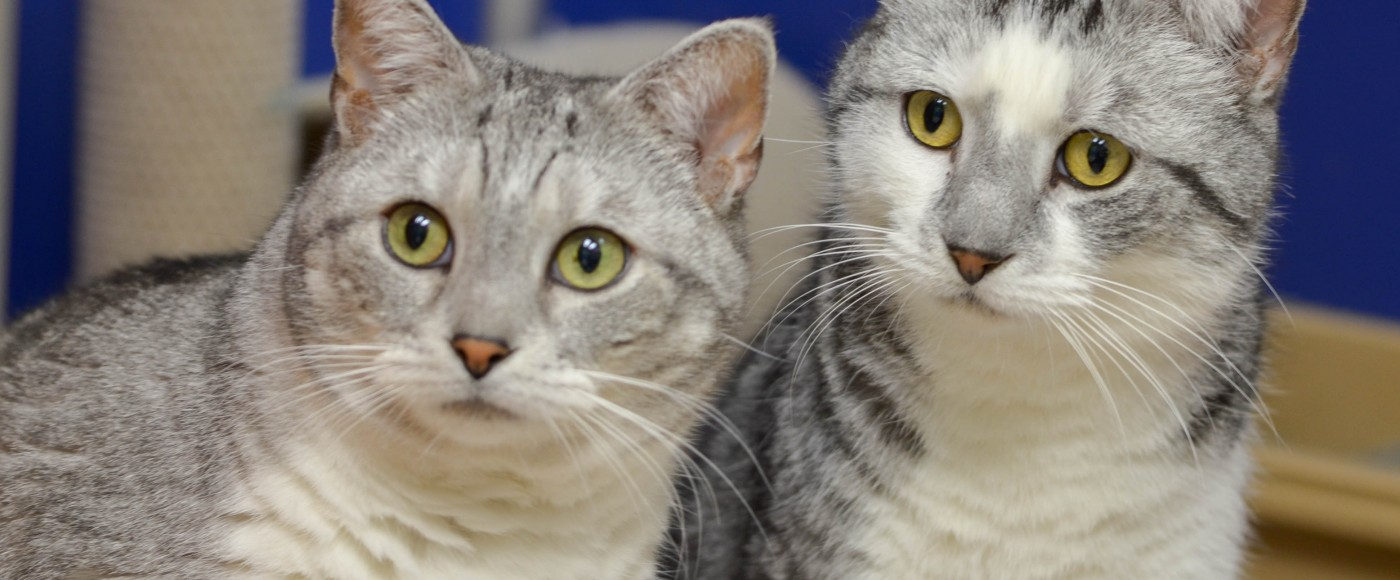 Two grey and white cats