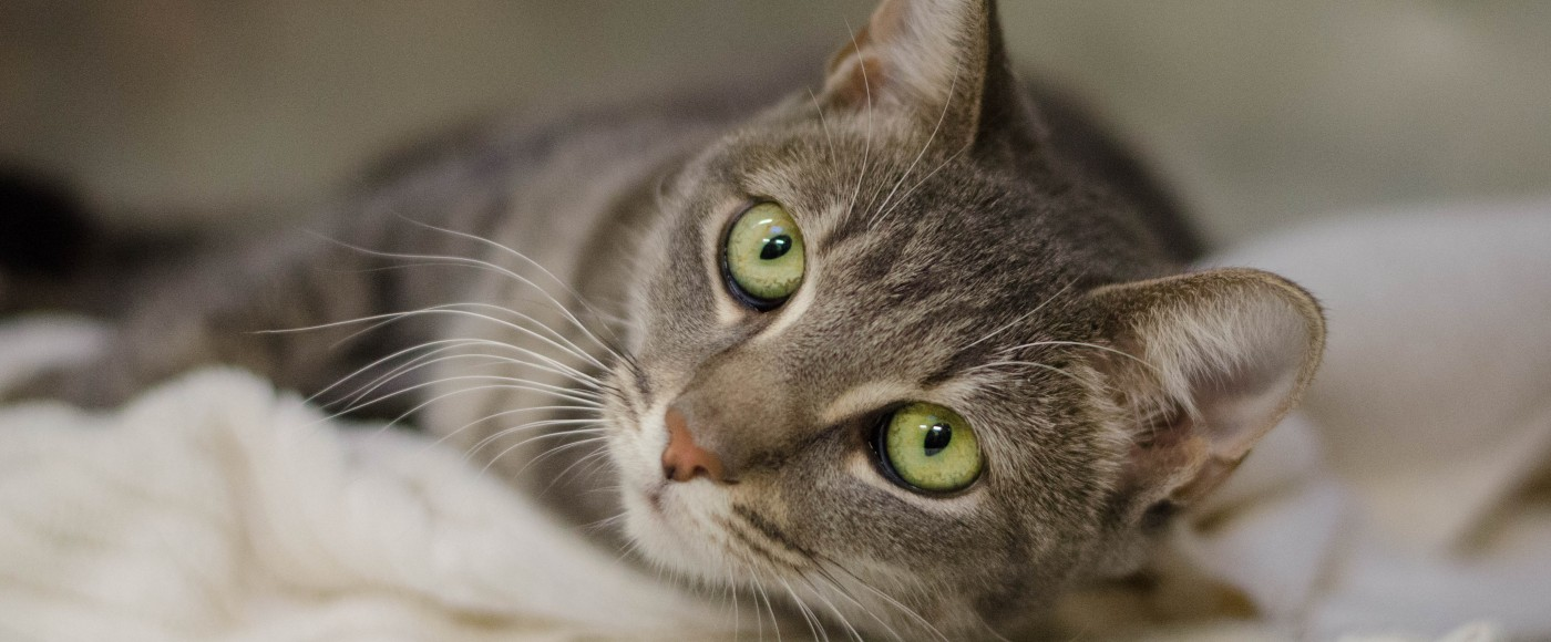 find adoptable cats pennsylvania society for the prevention of