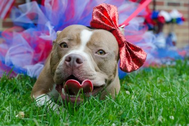 Brown pitbull smiles while wearing a bow and a tutu