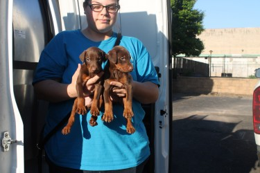 Doberman puppies rescued